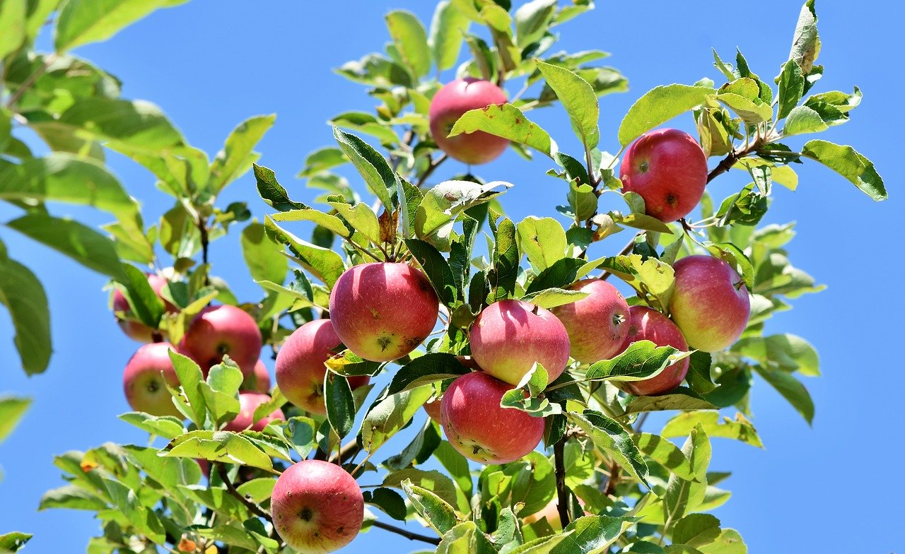apple, apple tree, fruit